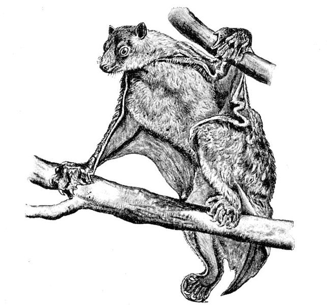 Philippinen-Riesengleiter (Frank E. Beddard)