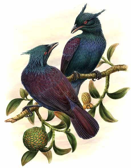 Trompeter-Paradiesvogel (Richard Bowdler Sharpe)