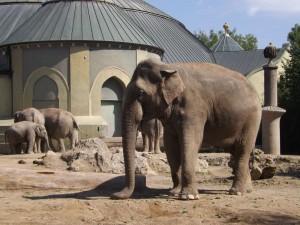 Asiatischer Elefant (Tierpark Hellabrunn)