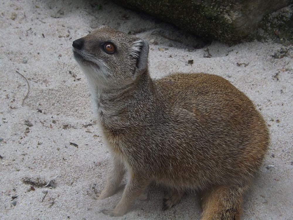 Fuchsmanguste (Zoo Olomouc)