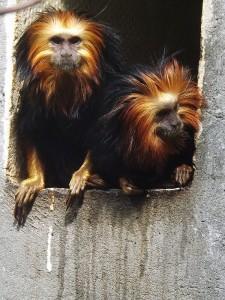Goldkopflöwenaffe (Zoo Mulhouse)