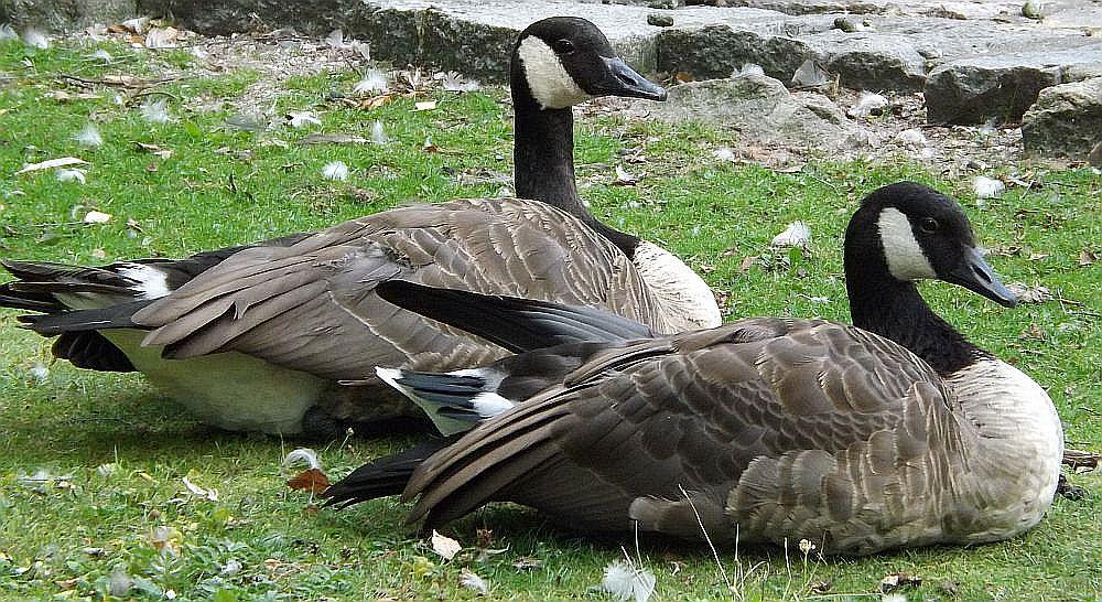 Kanadagans (Tiergarten Nürnberg)
