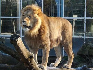 Löwe (Tierpark Hellabrunn)