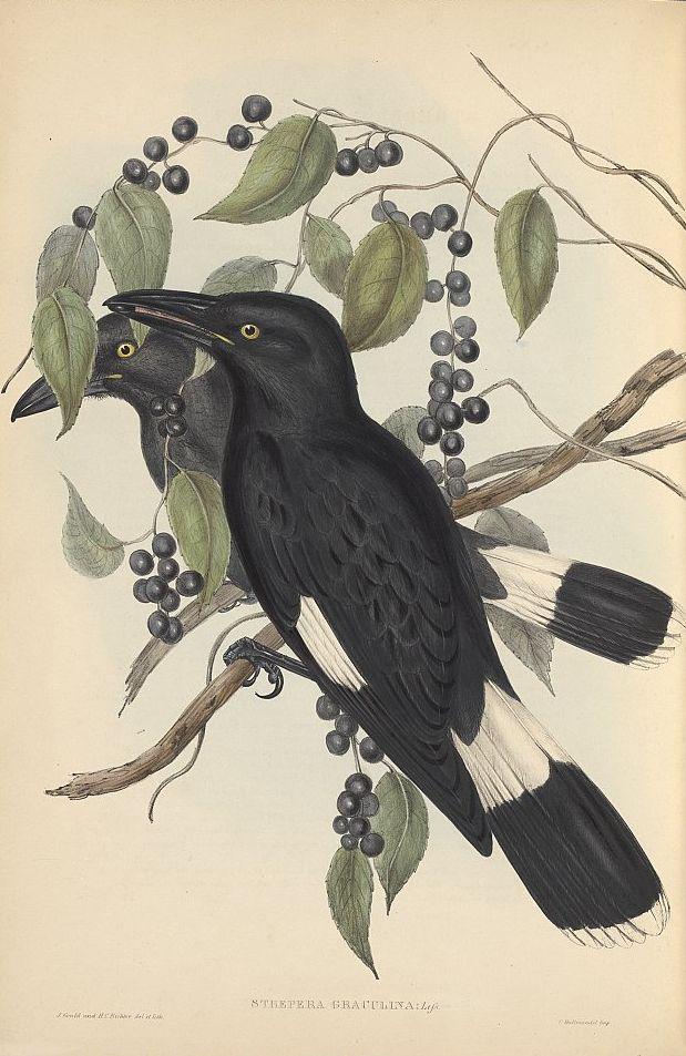 Dickschnabel-Würgerkrähe (John Gould)