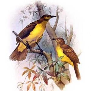 Dreigang-Laubenvögel (Daniel Giraud Elliot)
