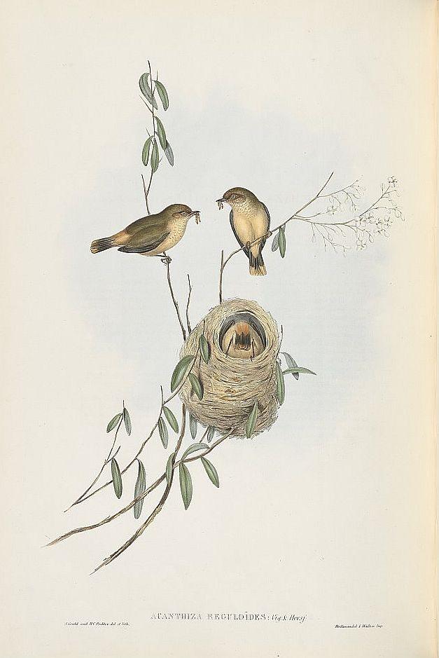 Goldhähnchen-Dornschnabel (John Gould)