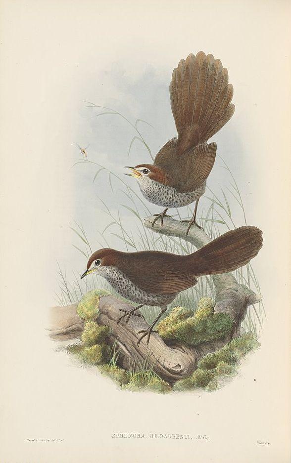 Langschnabel-Lackvogel (John Gould)