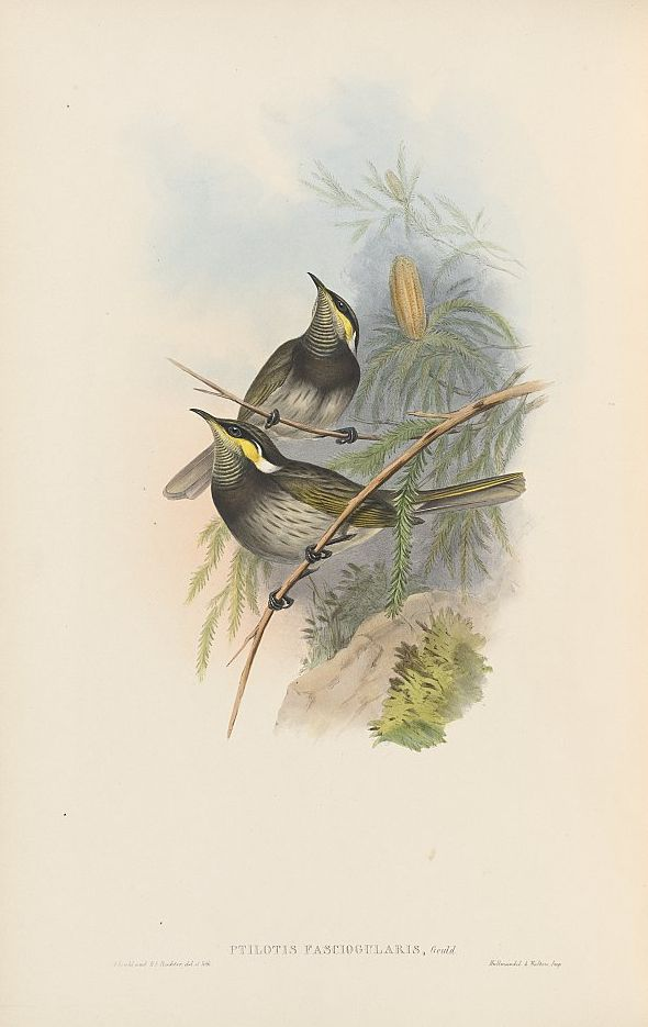 Mangrovehonigfresser (John Gould)