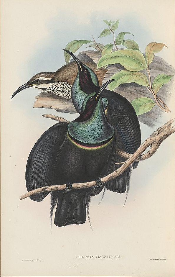 Prachtparadiesvogel (John Gould)