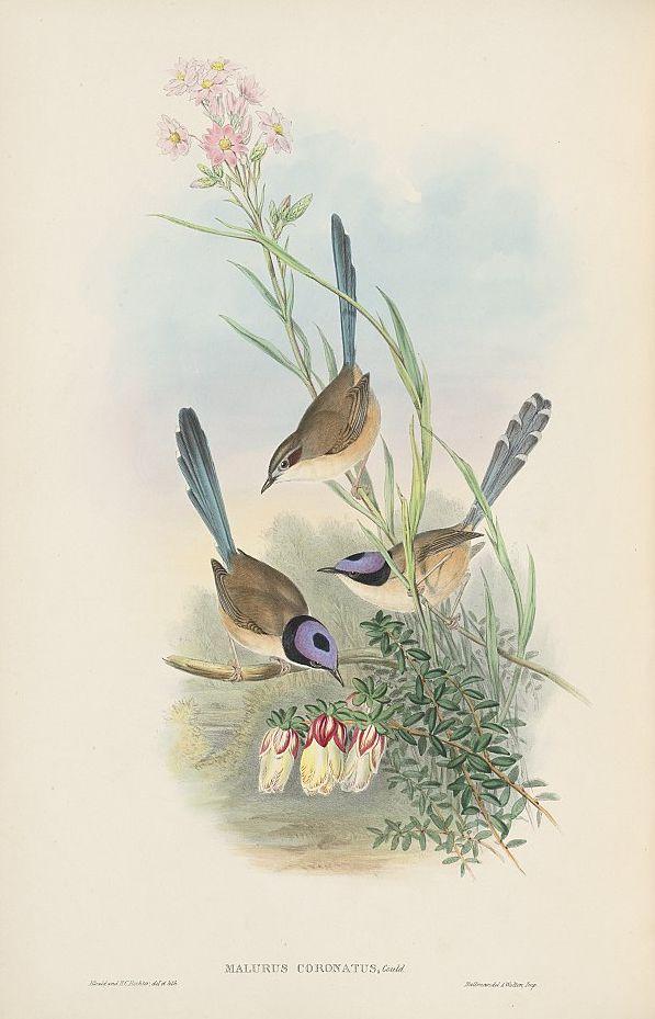 Purpurkopf-Staffelschwanz (John Gould)