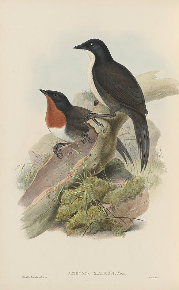 Schwarzkopf-Stachelschwanzflöter (John Gould)