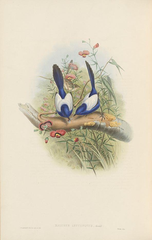 Weißflügel-Staffelschwanz (John Gould)