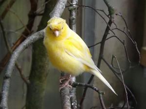 Kanarienvogel (Vogelpark Abensberg)