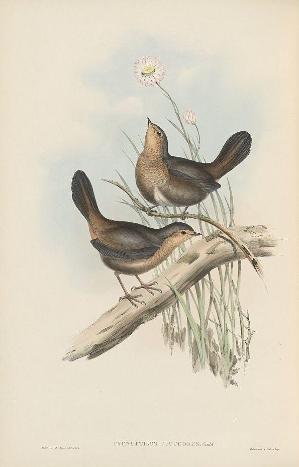 Leierschwanzlakai (John Gould)