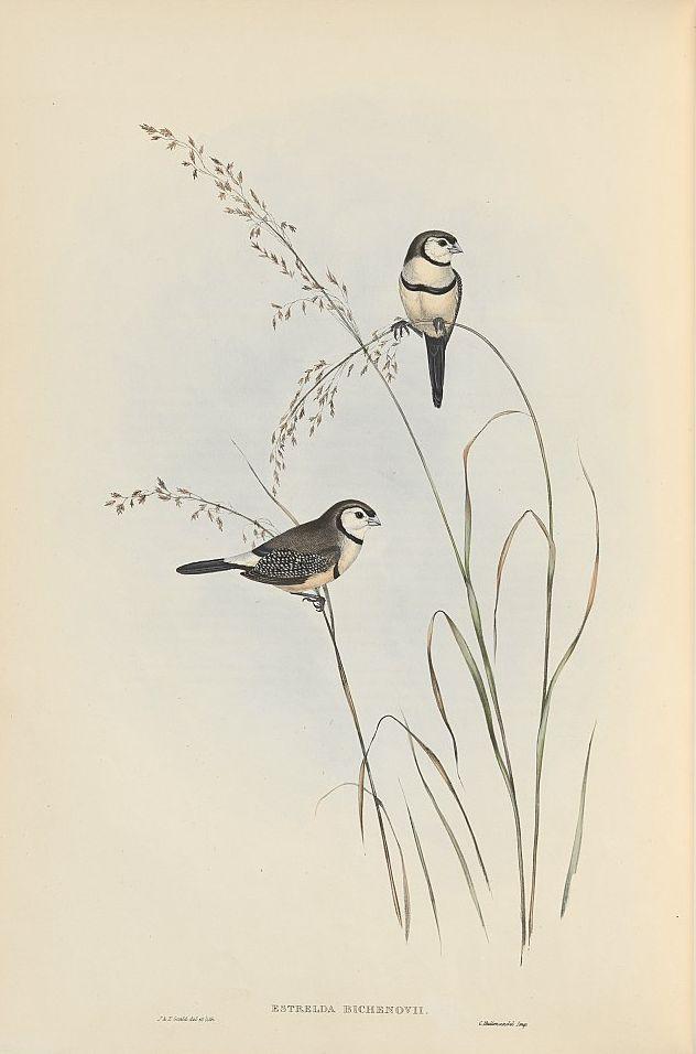 Ringelastrild (John Gould)