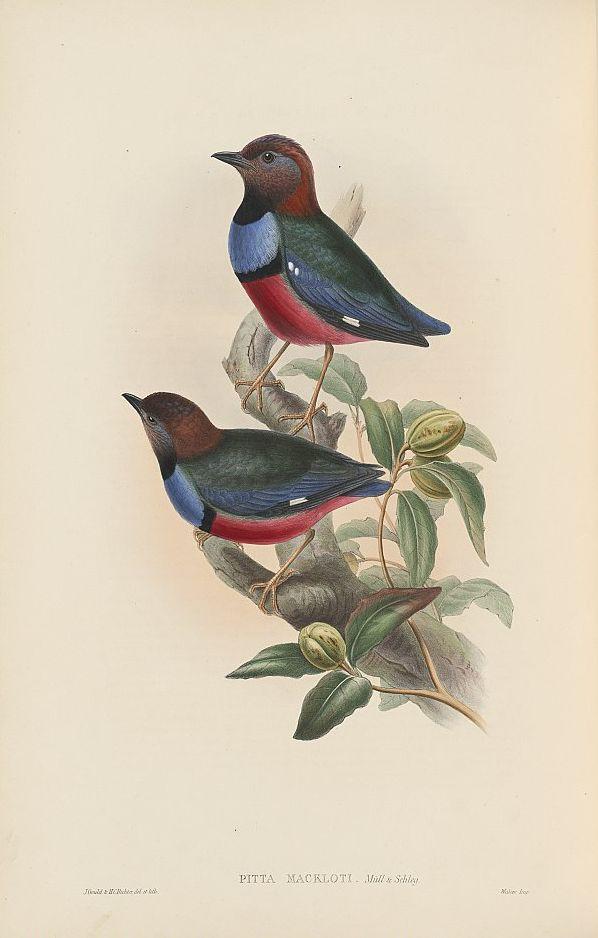Rotbauchpitta (John Gould)