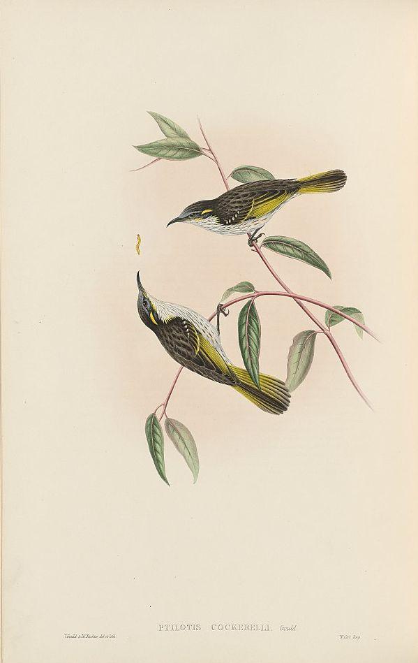 Uferhonigfresser (John Gould)