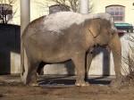 Asiatischer Elefant (Zoo Augsburg)