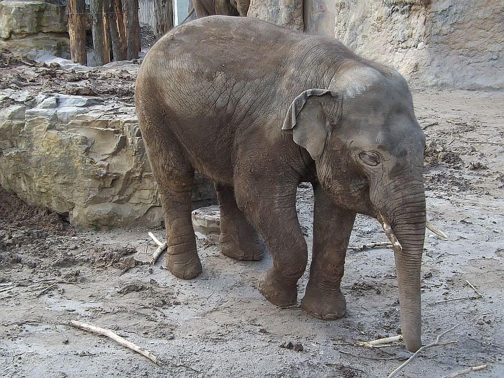 Asiatischer Elefant (Zoo Heidelberg)