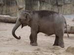 Asiatischer Elefant (Zoo Köln)