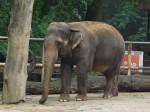 Asiatischer Elefant (Zoo Liberec)