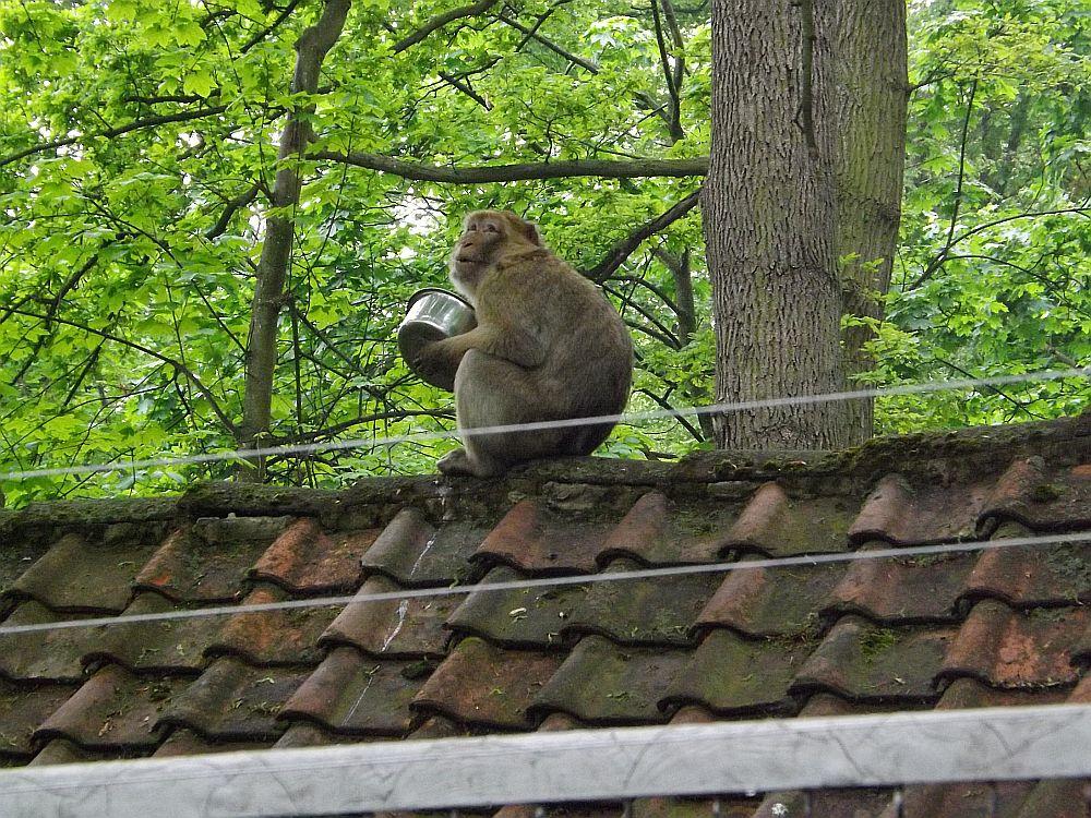Diebischer Berberaffe (Tierpark Halberstadt)