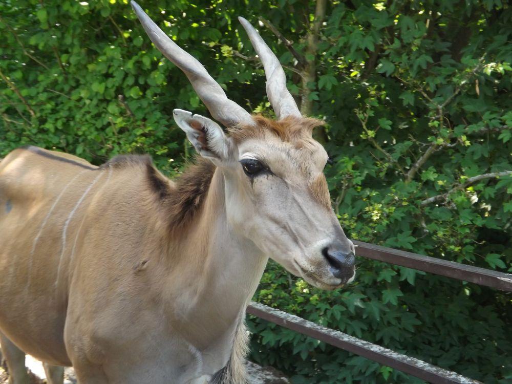 Elenantilope (Zoo Dvur Kralove nad Labem)