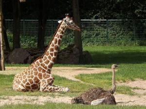 Giraffe und Strauß (Tiergarten Nürnberg)