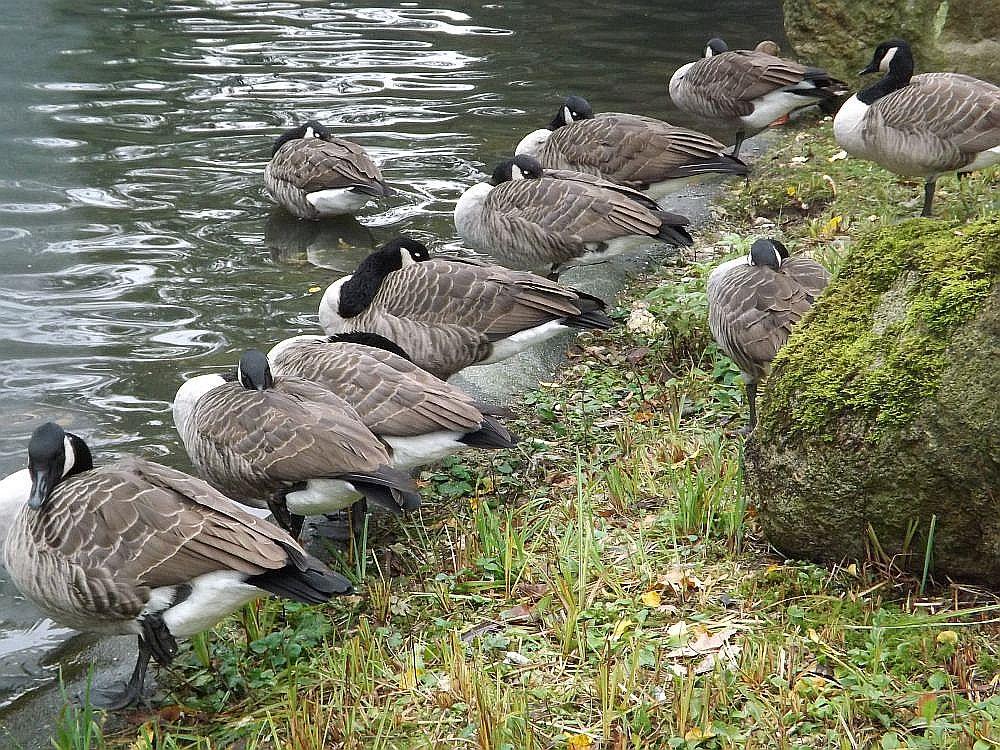 Kanadagans (Zoo Dortmund)