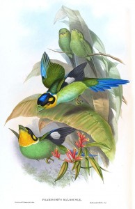 Papageibreitrachen (John Gould)