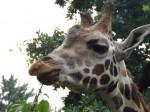 Rothschildgiraffe (Zoo Schmiding)