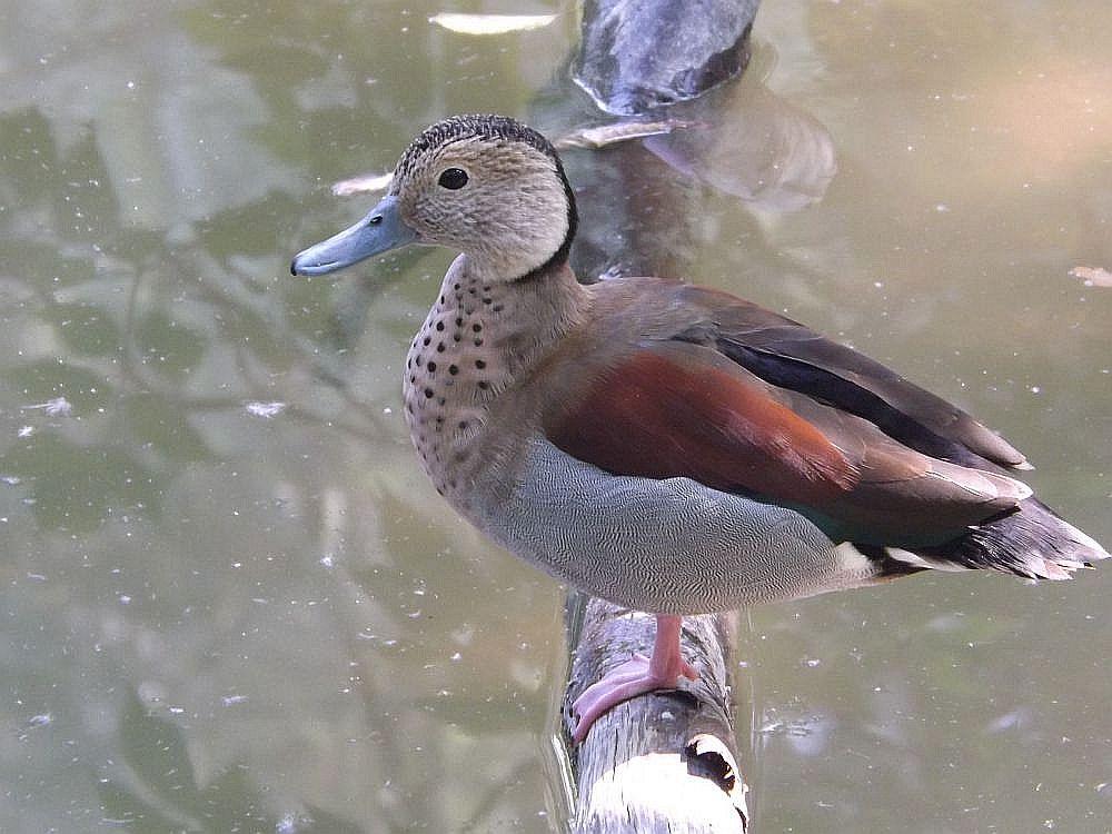Rotschulterente (Vogelpark Olching)