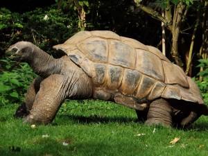Aldabra-Riesenschildkröte (Zoo Krefeld)