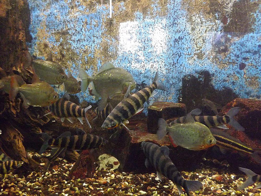 Amerikanische Salmler (Aquarium Thüringer Zoopark)
