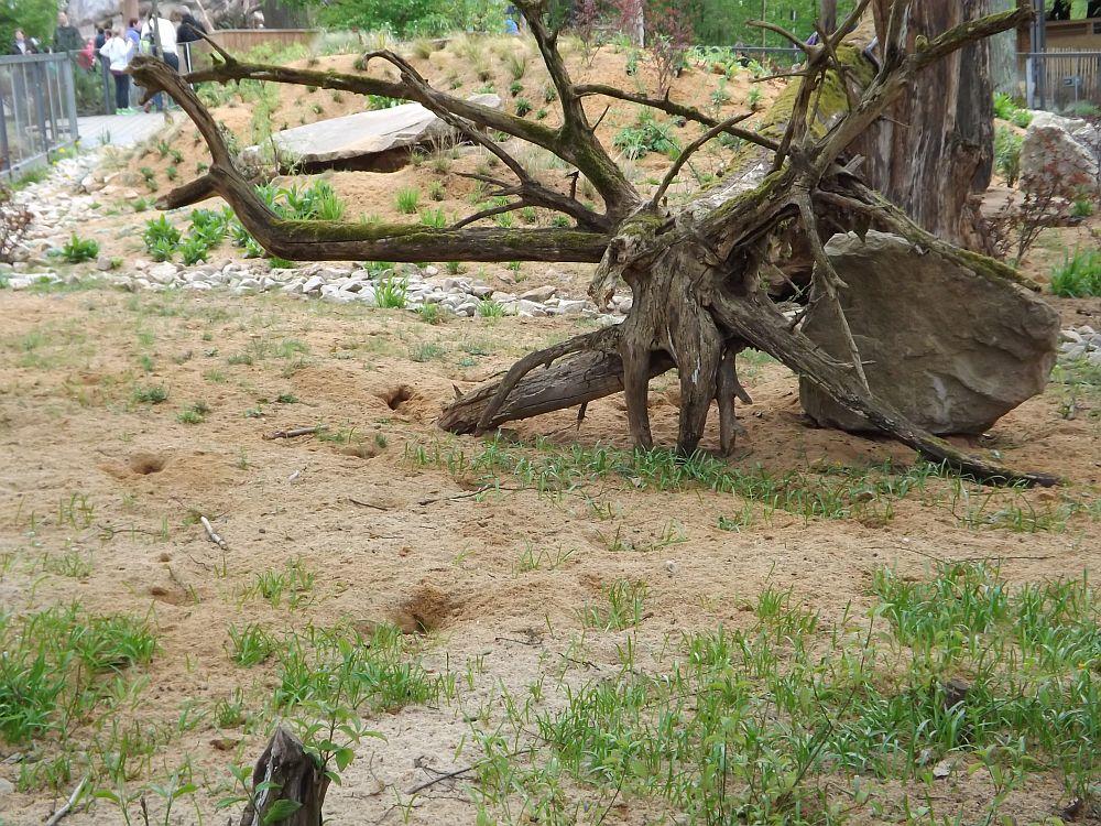 Anlage für Erdmännchen und Fuchsmangusten (Tiergarten Nürnberg)