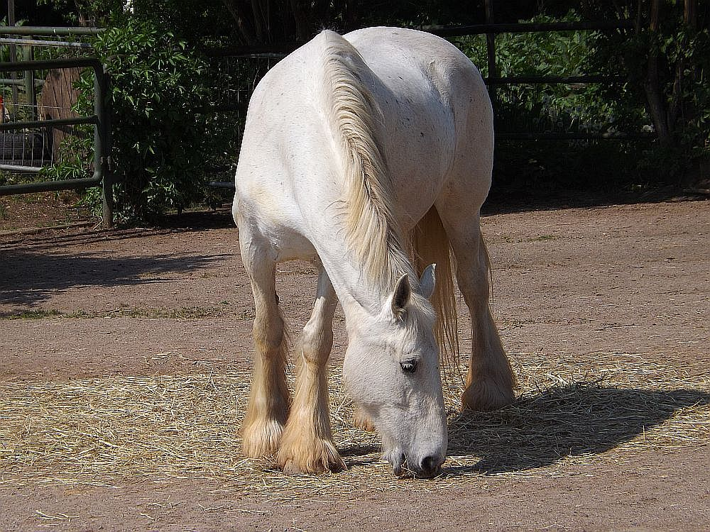 Shirehorse (Thüringer Zoopark)
