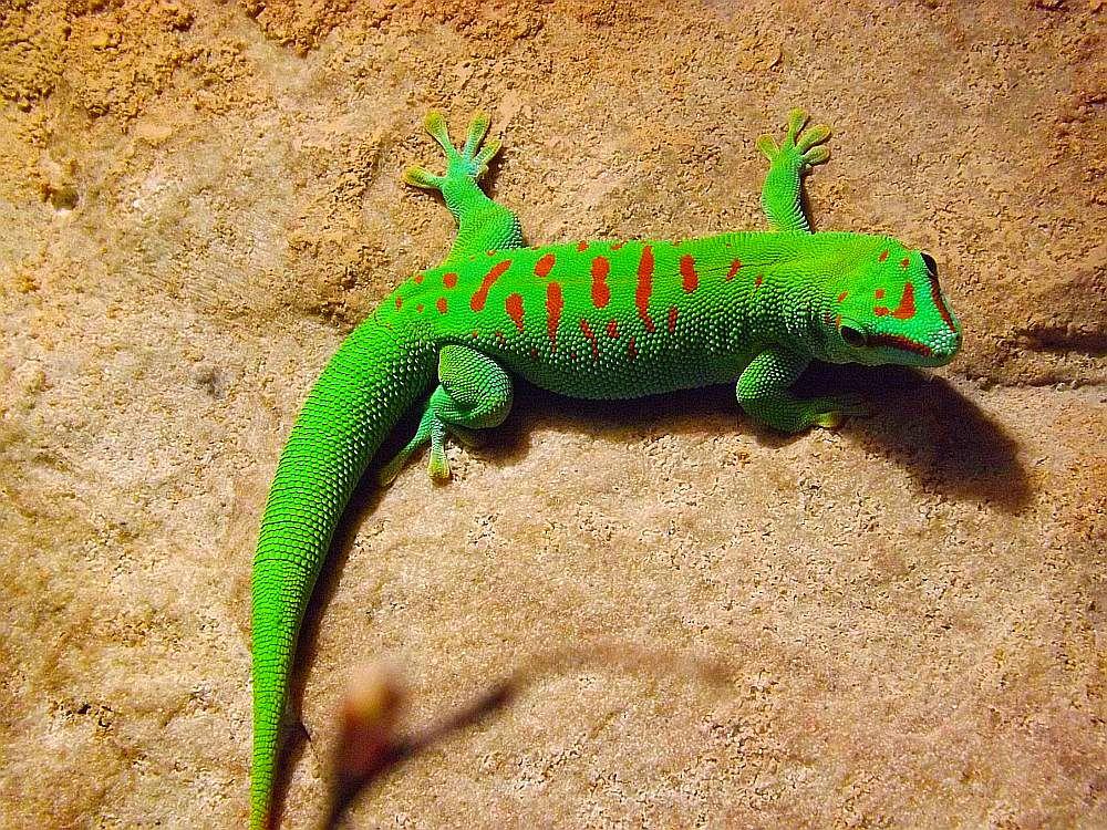 Madagaskar-Taggecko (Tiergarten Nürnberg)