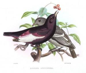 Weißflügel-Pompadourkotinga (Joseph Smit)