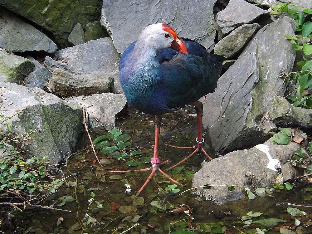 Graukopf-Purpurhuhn (Zoo Ostrava)