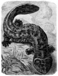 Japanischer Riesensalamander (Brehms Tierleben)