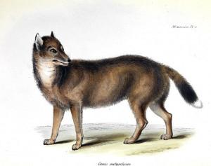 Falklandfuchs (George R. Waterhouse)