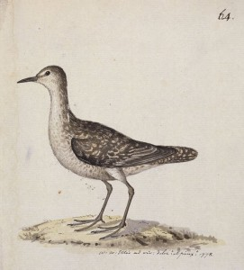 Südseeläufer (William Ellis)
