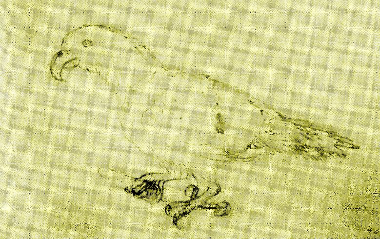 Zeichnung einer unbekannten Papageienart von Vavaʻu, die den Polynesischen Edelpapagei repräsentieren könnte