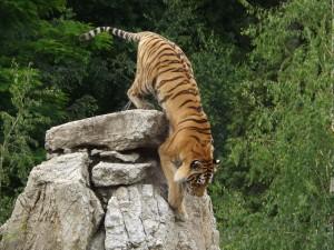 Amurtiger (Zoo Hodonin)