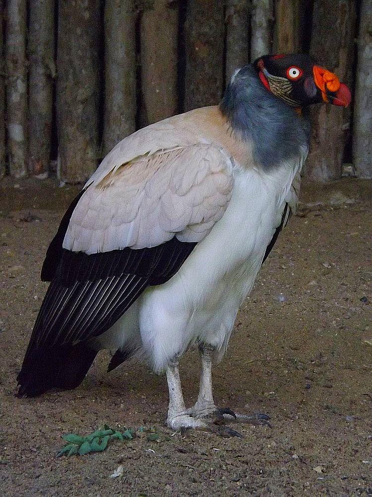 Königsgeier (Tierpark Cottbus)