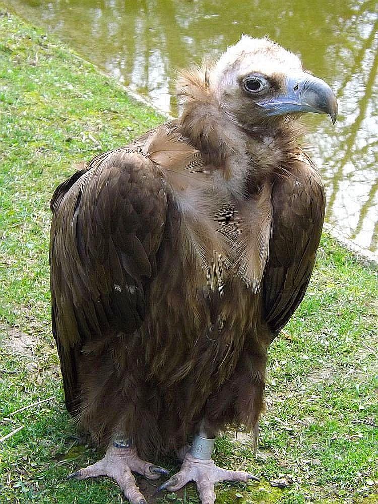 Mönchsgeier (Zoo Mulhouse)