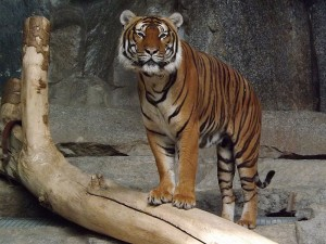 Malaiischer Tiger (Tierpark Berlin)