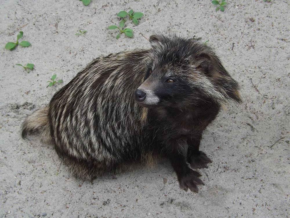 Marderhund (Zoo Ostrava)