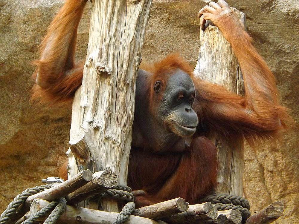 Sumatra-Orang-Utan (Zoo Leipzig)