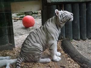 Weißer Tiger (Zoo Liberec)